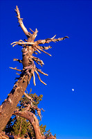 F7744_Crater Lake Tree